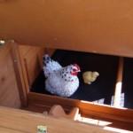Legenest hühnerstal