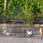 Hühnerauslauf Jeffrey