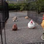 Kaninchen-auslauf Hühner-auslauf jeffrey